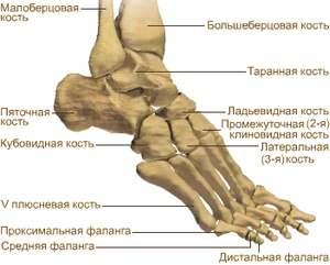 tratați articulațiile metatarsiene)